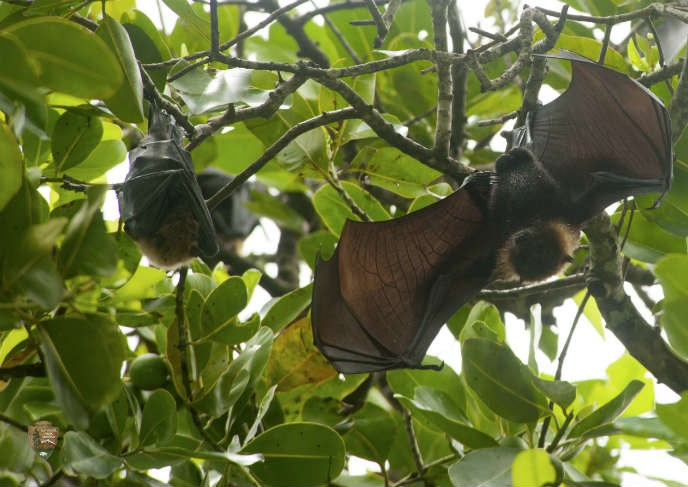 Fruit Bats hanging from a tree.