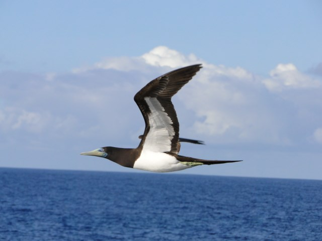 "Brown booby, ""fua'o"" in flight"
