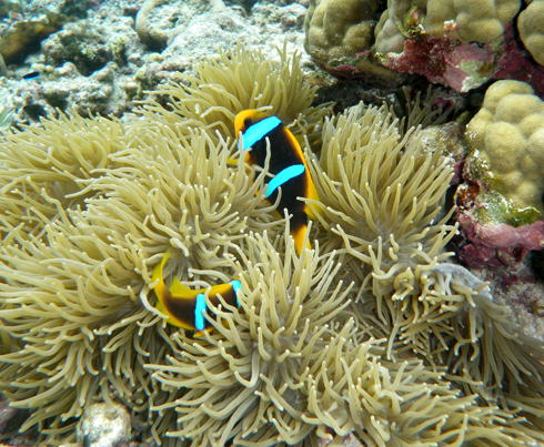 "Orange-fin Anemonefish or ""Tu'u'u-lumane are usually seen in and around anemone."