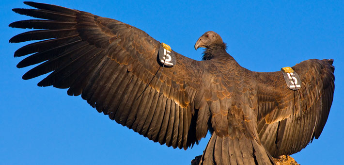 Photo of condor stretching its wings, NPS photo by Gavin Emmons