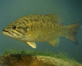 A smallmouth bass searches for food.