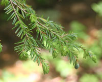 Closeup of needles on a hemlock tree.
