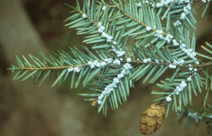 woolly adelgid on a hemlock tree branch