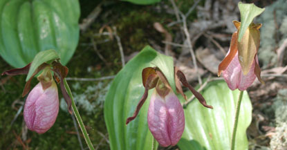 Three pink ladyslipper wildflowers.
