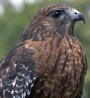 head of a red-shouldered hawk