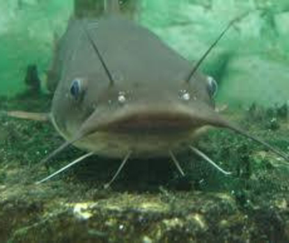 CatfishUSE-Picture