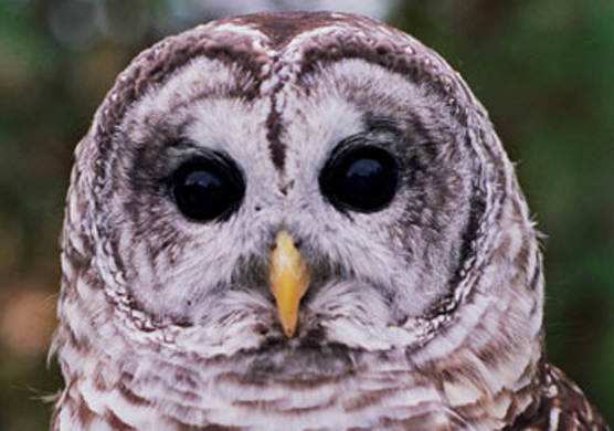 Face of a Barred Owl.