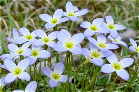 Light blue flowers with four petals