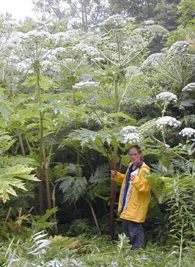 Person stands next to a 14 ft tall hogweed plant.