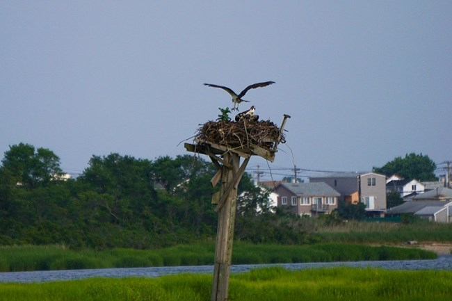 An osprey returns to its nest.