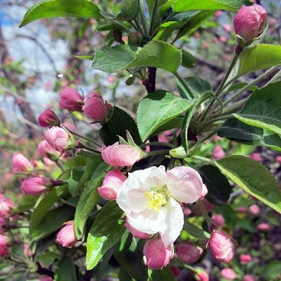 Spring apple blooms with new green leaves.