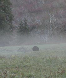 Bear in the fog.