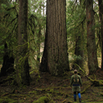 Giant Douglas fir in Olympic rainforest valley