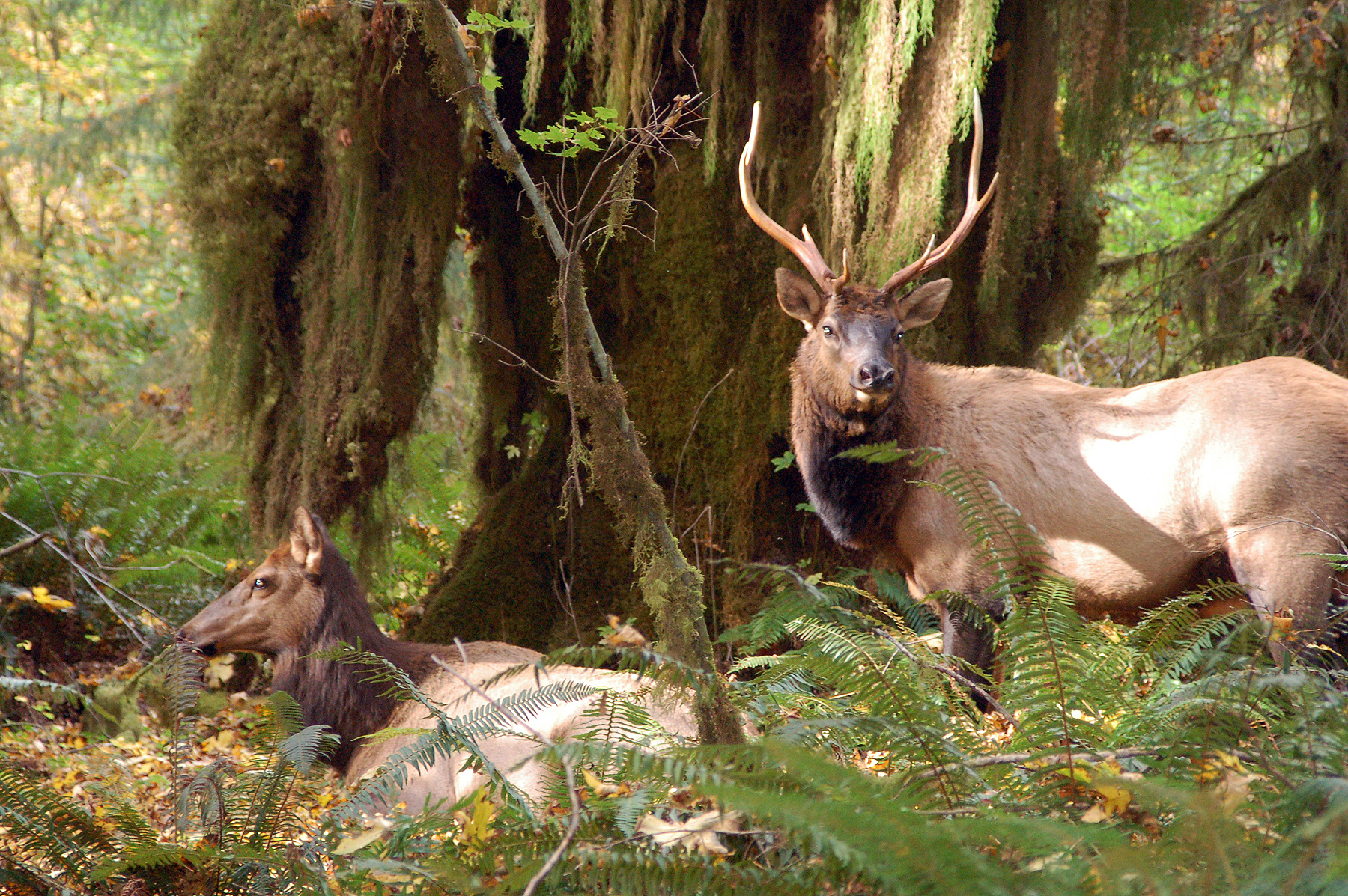 Elk in the Hoh Rainforest.