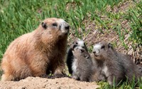 One adult and three young marmots by their den.