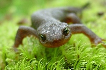 Roughskin Newt in  Hoh Rainforest