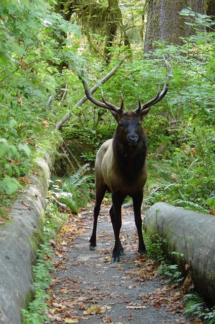 A bull elk on a trail in the Hoh Valley