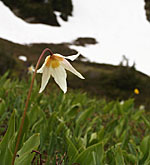 Star-like white and yellow avalanche lily in green meadow with snow patch beyond
