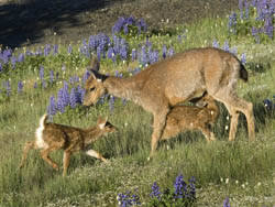 A blacktail deer and her two calves in a meadow near Hurricane Ridge