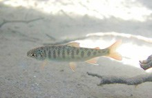 A coho fry in the Elwha River