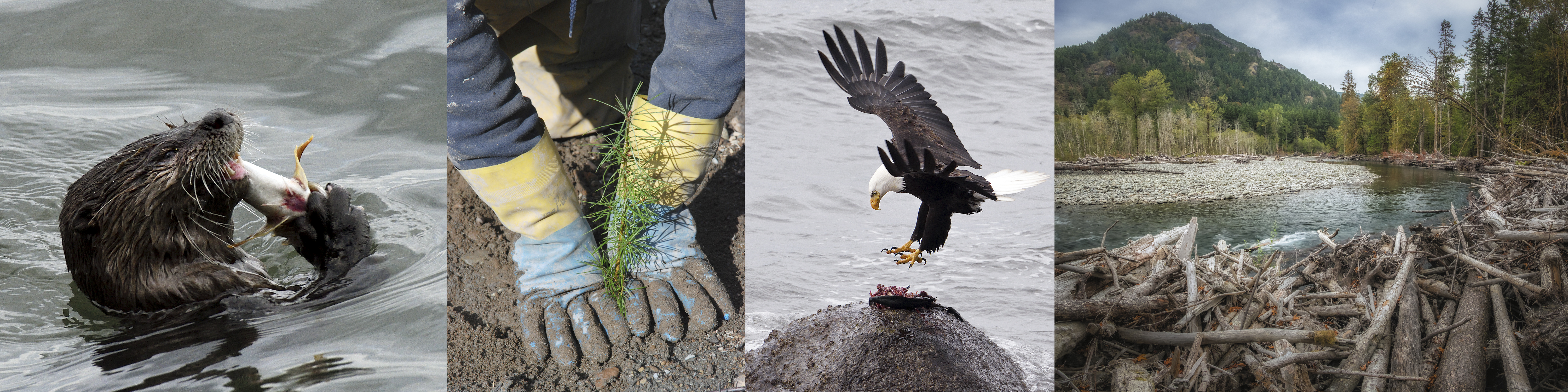 Otter eating a fish, planting of a Douglas Fir, bald eagle eating fish, scenic Elwha River.