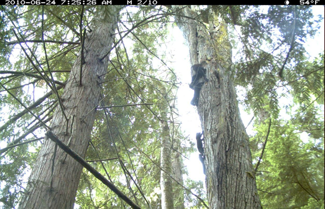 Fisher F004 scampers up a tree with her four kits.