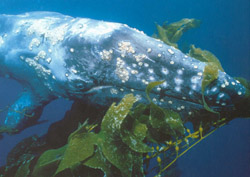 Underwater photo of a gray whale