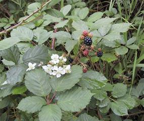 Himalayan Blackberry Olympic National Park U S