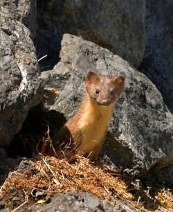 A long-tailed weasel poking its head out from behind some rocks
