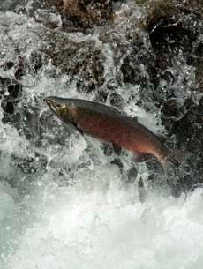 Leaping coho salmon