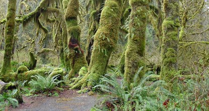 Temperate Rain Forests Olympic National Park U S