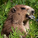 Marmot eating lupine