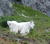 A large white mountain goat stands on a steep mountain slope.