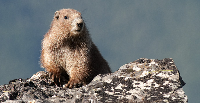 Olympic Marmot Monitoring National Park US