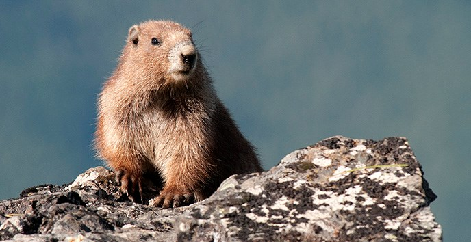 Olympic marmot on rock