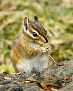http://www.nps.gov/olym/naturescience/images/Olympic_ChipmunkPort_Angeles,_WA250.jpg