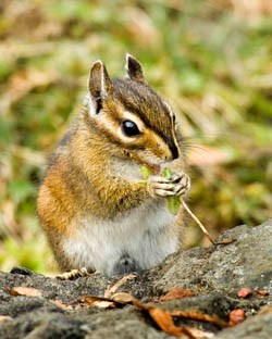 An Olympic chipmunk chewing on a plant