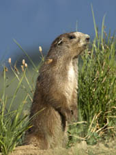 An Olympic marmot in a meadow