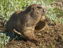 An Olympic marmot holds a root in one paw