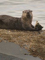 A river otter eating a fish.