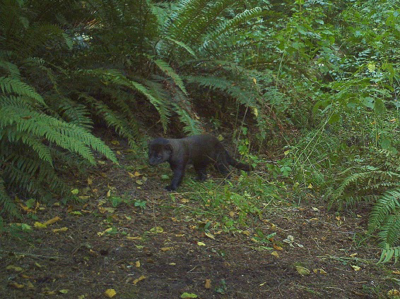 This fisher, known as 0301-M, was spotted in a residential area near Port Angeles!