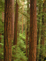 many large straight red-brown tree trunks with green lacy understory trees below