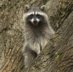 A raccoon in a tree