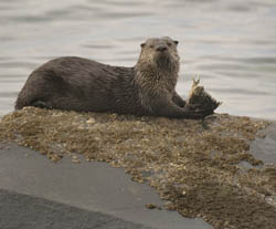 A river otter lying on a rock and eating a fish in the Strait of Juan de Fuca