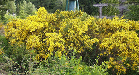 Scot's broom