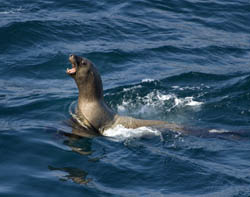A Steller's sea lion bobs its head up in the waters of Cape Flattery.