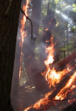 Forest fire burns dark tree trunks and along ground on a steep slope