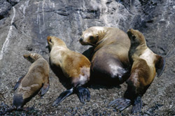 Four California sea lions on a rock