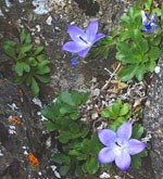Low-growing star-shaped blue flowers grow in rock crack