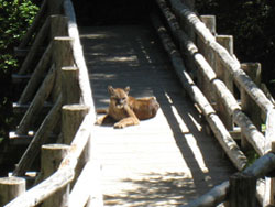 A cougar lies on a bridge
